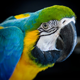 Blue and Gold Macaw by Bonnie Marquette - Animals Birds ( bird, nature, avian, blue, pet, parrot, gold, portrait, animal, macaw )