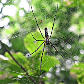 giant... by Nisha Bhakat - Animals Insects & Spiders ( west bengal, canonsx130is, common wood spider, india, spider, bethuadahari wildlife sanctuary )