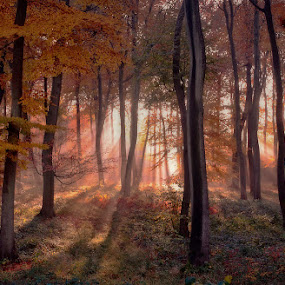 Golden Autumn Light by Ceri Jones - Landscapes Forests ( orange, stream, blaze, sunlight, woods, rays, sun, season, autumn, beams, trees, woodland, golden )