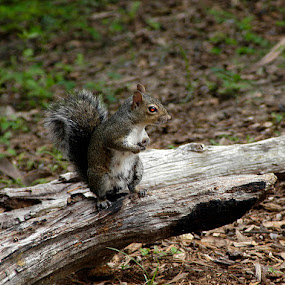 Just looking for another nut. by Jim Westcott - Animals Other Mammals ( animals, wildlife, squirrel )