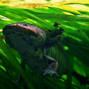 Anderson's Salamander