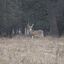 White tail Deer - Buck