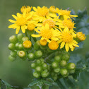 Butterweed, or Yellowtop, Ragwort