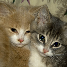 Brothers by Daniel Thomas - Animals - Cats Kittens ( cats, kitten, animal,  )