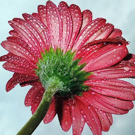 beautiful gerber by LADOCKi Elvira - Flowers Single Flower ( nature, color, flowers, garden )