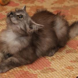 comot by Siti Hana Iryani - Animals - Cats Kittens