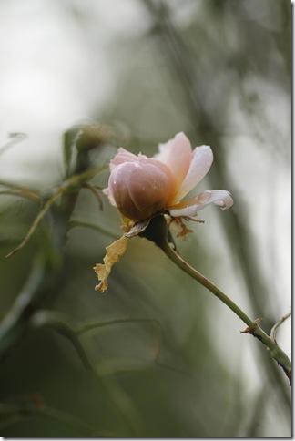 Den sista rosen