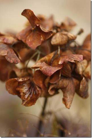 En annan hortensia på dekis