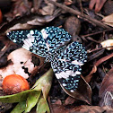 Red cracker butterfly