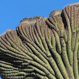 Crested Saguaro Cactus by Sandra Blair - Nature Up Close Other plants ( desert, deformed, southwest, crest, saguaro, cactus )