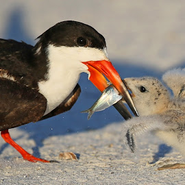 Feeding time!! by Anthony Goldman - Animals Birds ( bird, wild, petersburg, fish, feeding, st, beach, baby, adult, skimmer, black )