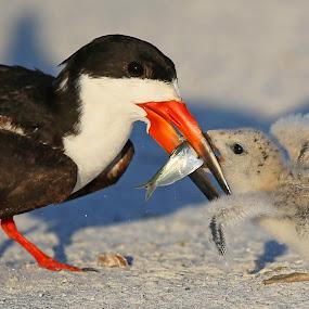 Feeding time!! by Anthony Goldman - Animals Birds ( bird, wild, petersburg, fish, feeding, st, beach, baby, adult, skimmer, black,  )