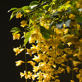 Yellow Hanging Flowers by Sue Matsunaga - Novices Only Flowers & Plants