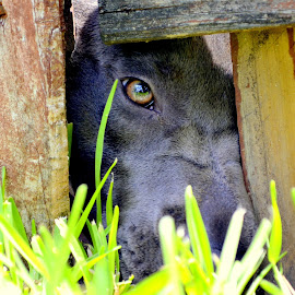 Brando. by Anthony DAngelo - Animals - Dogs Portraits ( blue, pitbull, green eyes, labrador, mutt )