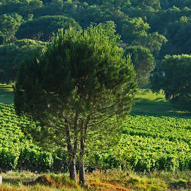 Vineyard, Provence by Steve Cornforth - Landscapes Prairies, Meadows & Fields ( provence, vineyard, tree, france, la mole )