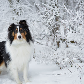 Is it christmas yet? by Emilie Seney - Animals - Dogs Portraits ( winter, shetland sheepdog, snow, dog portrait, dog, sheltie )
