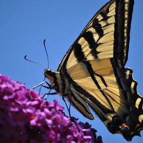 Look Ma, Top Of The World! by Ed Hanson - Animals Insects & Spiders ( butterfly, yellow, flower, black, close-up )