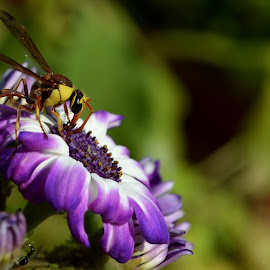 Garden's Chief Guest by Gaurav Kumar - Nature Up Close Gardens & Produce ( wasp yellow green nature macro nikon d3100 18-55mm )