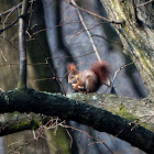 Eurasian Red Squirrel - Veverka obecná