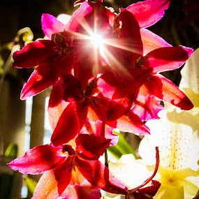 Sun Burst by Christine Weaver-Cimala - Flowers Flower Arangements ( canon, red, arangement, orchid, sun burst, shadow, bloom, greater lansing orchid society, michigan state university, blossom, flower )