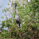 Great Blue Heron & little ones in nest
