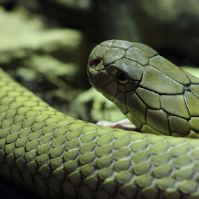 Snake by Kelly Lippitt - Animals Reptiles ( snake, open, scales, green, reptile )
