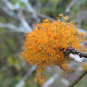 Old man´s beard (orange)