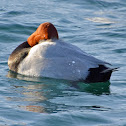 Common Pochard (male)