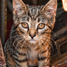 Barn Kitten by Diane Plevelich - Animals - Cats Kittens