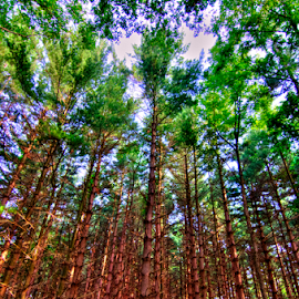 Pines by Sean Price - Nature Up Close Trees & Bushes ( hdr, tree, forest, landscape, pine )