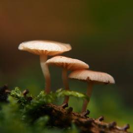 three... by Claudia Weber-Gebert - Nature Up Close Mushrooms & Fungi ( tiny, mushroom, macro, wood, nature, moss, forest, funghi, small, close up, close )
