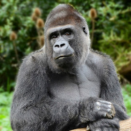 My Perfect model by Wendy Faber - Novices Only Wildlife ( gorilla )