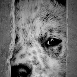 Eye to your Soul by Kurt Bailey - Animals - Dogs Puppies (  )