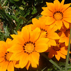 Gazania rigens (Flowers from Antalya)