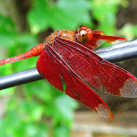 Dragonfly red by Asif Bora - Animals Insects & Spiders