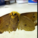 The Imperial Moth