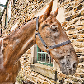Horse chestnut by Dave Smith - Animals Horses ( vintage, horse, museum, stable )