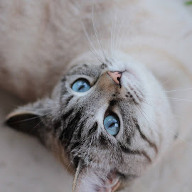 by Sophie Mirgaux - Animals - Cats Portraits