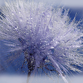 Night In White Satin by Marija Jilek - Nature Up Close Other plants ( seedsm+ stem, nature, goat-beard, plants, dropsa )