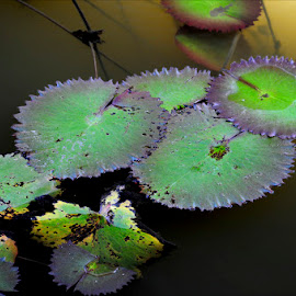 Lily Pads by Dub Scroggin - Nature Up Close Other plants ( water, belize, lily pads, pond, transluscent light )