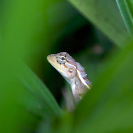 I spy with my little eye... by Adria Bannocks - Animals Amphibians ( reptiles, lizard, amphibians )
