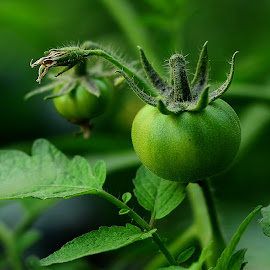 Fresh by Subhajit Sen - Nature Up Close Gardens & Produce ( macro, tomato, fresh, green, garden, close up )