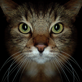 *** by Jurijs Ratanins - Animals - Cats Portraits ( wishkers, mobilography, cat, nose, portrait, eyes )