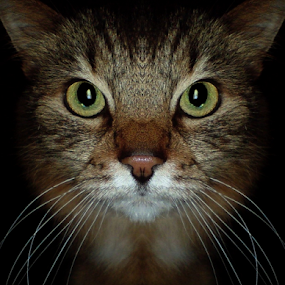 *** by Jurijs Ratanins - Animals - Cats Portraits ( wishkers, mobilography, cat, nose, portrait, eyes )