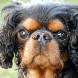 The Cavalier by Victoria Fedak - Animals - Dogs Portraits