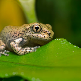 Golden Eye by Henry Salvador - Animals Amphibians ( macro, frog, green, gold, eye )
