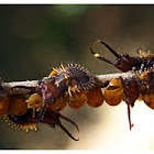 antlion (Lacewing larvae)
