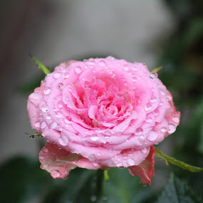 mini rose by Sean Kushmick - Novices Only Flowers & Plants ( rose, water drops, florida, tampa, garden )