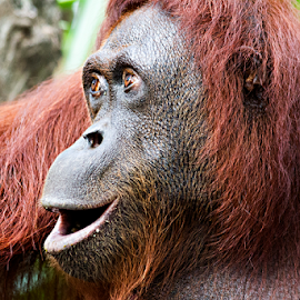 Orangutan by Siew Feun Kylemark - Animals Other Mammals ( mammals, orang utan, zoo, ape, animal, monkey )