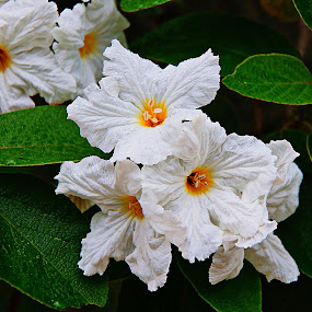 ----------Mexican Olive Tree Blooms---------- by Neal Hatcher - Flowers Tree Blossoms ( , Spring, springtime, outdoors )